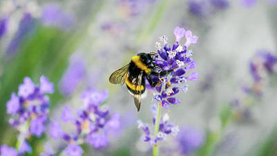 Poster featuring the photograph Bumblebee by Bee-Bee Deigner