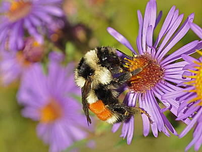 Bumblebee On Aster Poster by Gerald Hiam