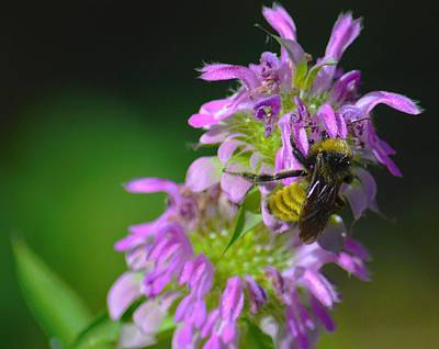 Bumblebee On Horsemint Poster