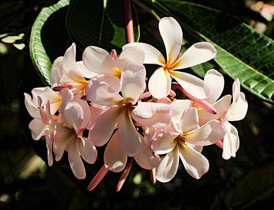 Bunch Of Plumeria Poster