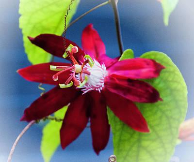 Burgandy Passion Flower Poster
