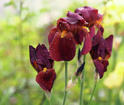 Burgundy Bearded Irises In The Rain Poster