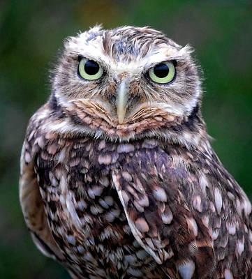Burrowing Owl Poster by Athena Mckinzie
