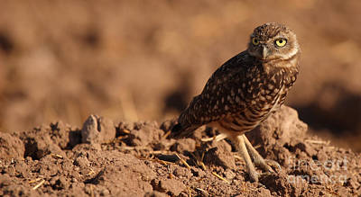 Poster featuring the photograph Burrowing Owl Looking Back Over Shoulder by Max Allen