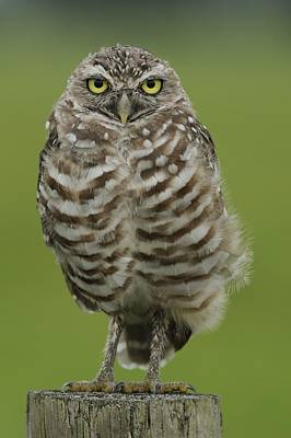 Burrowing Owl Lookout Poster