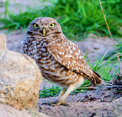 Burrowing Owl Poster