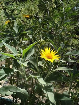 Burst Of Sun Flower Poster