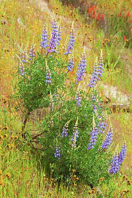 Poster featuring the photograph Bush Lupine by Ram Vasudev