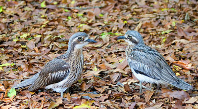 Bush Stone Curlew Pair Poster by Mike  Dawson