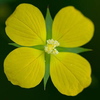 Bushy Seedbox - Ludwigia Alternifolia Poster by Elaine Smith