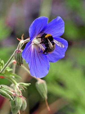 Busy Bee On A Blue Geranium Poster