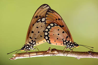 Butterflies Mating Poster by Krisdian Wardana