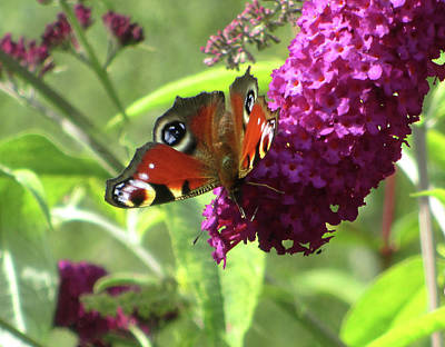 Peacock Butterfly  Poster by The Rambler