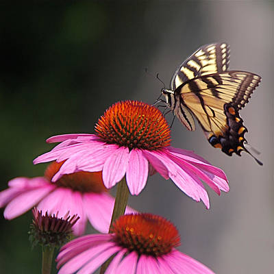 Butterfly And Coneflower Poster by Byron Varvarigos