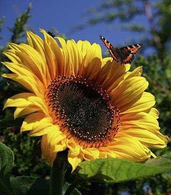 Butterfly And Sunflower Poster by Martina Fagan