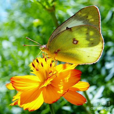 Butterfly And Yellow Cosmo Flower Poster by Judy Via-Wolff