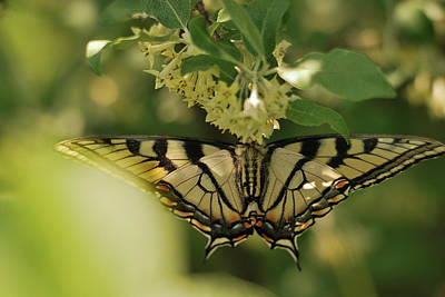 Poster featuring the photograph Butterfly From Another Side by Susan Capuano