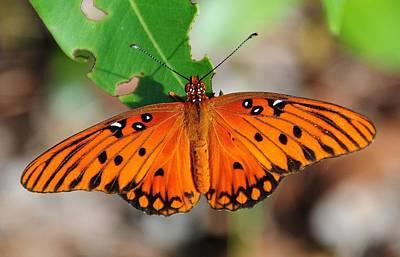Butterfly In Feast Poster