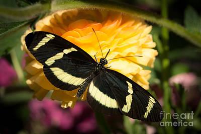 Butterfly Moment Poster by Ana V Ramirez