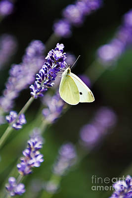 Butterfly On A Lavender Flower Poster