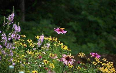 Butterfly On Cone Flower Poster