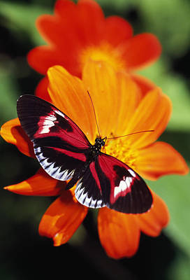 Butterfly On Flower Poster by Natural Selection Ralph Curtin