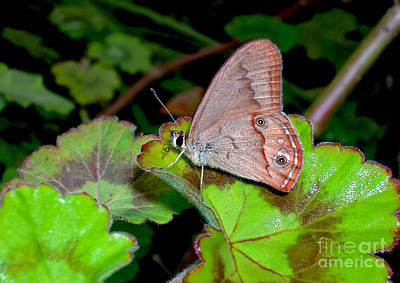 Butterfly On Geranium Leaf Poster