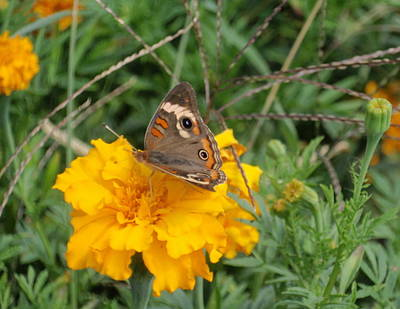 Poster featuring the photograph Butterfly On Marigold by Beth Akerman