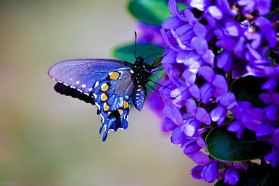 Poster featuring the photograph Butterfly On Mountain Laurel by Debbie Karnes