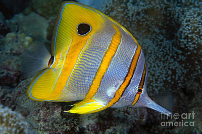 Butterflyfish Poster by Dave Fleetham - Printscapes