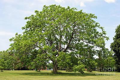 Butternut Tree Poster by Scimat