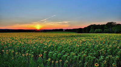 Buttonwood Sunflower Sunset Poster