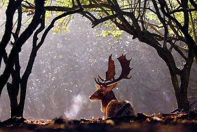 C-c-c-cold Breath - Fallow Deer Buck Poster by Roeselien Raimond