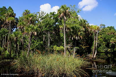 Cabbage Palms Along The Cotee River Poster