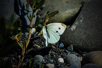 Poster featuring the photograph Cabbage White Butterfly by Tikvah's Hope