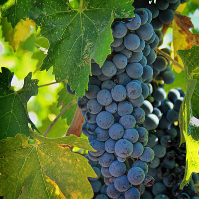 Cabernet Grapes Poster by Nancy Ingersoll
