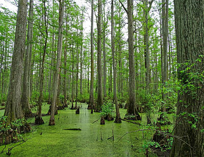 Cache River Swamp Poster by Sandy Keeton