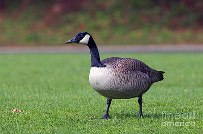 Canada  Goose On Grass Poster by Sharon Talson