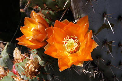 Poster featuring the photograph Cactus Flower by Gary Brandes