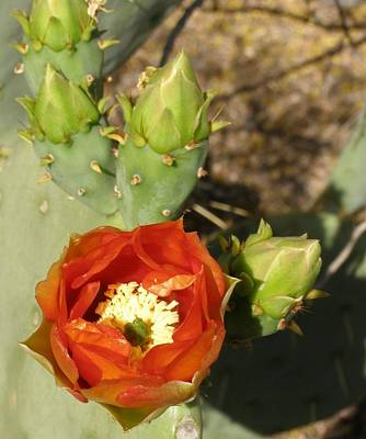 Cactus Flower Poster by Jeanette Oberholtzer