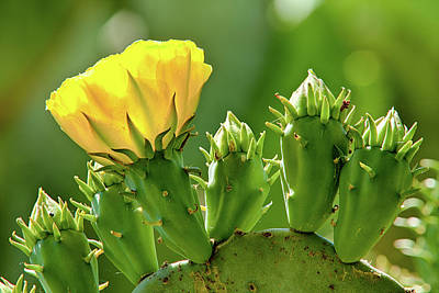 Poster featuring the photograph Cactus Flower On A Cactus Plant by Dan Carmichael