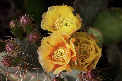 Yellow Cactus Flowers Poster