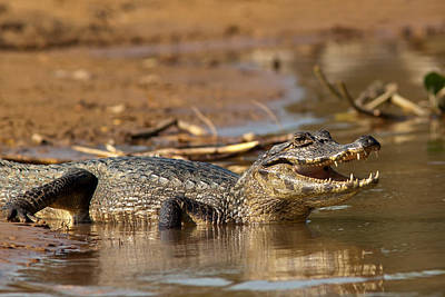 Caiman With Open Mouth Poster