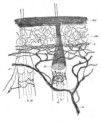 Cajal Illustration Rat Nerve Endings Poster by Science Source