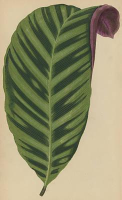 Calathea Zebrina, Maranta Zebrina Poster by English School