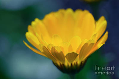 Poster featuring the photograph Calendula by Sharon Mau
