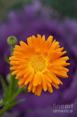 Calendula Poster by Tim Gainey