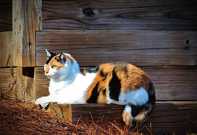 Calico Cat On The Steps Poster by Cynthia Guinn