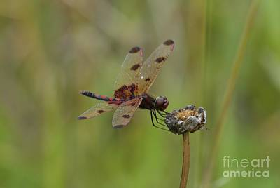 Poster featuring the photograph Calico Pennant by Randy Bodkins