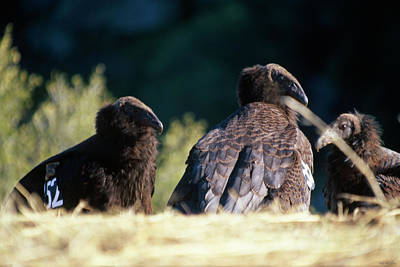 California Condors Poster